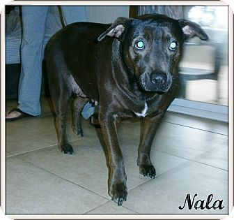 Labrador Retriever Mix Dog for adoption in Silsbee, Texas - Nala