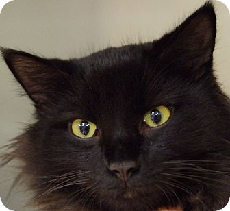 Domestic Longhair Cat for adoption in Daytona Beach, Florida - Lucky