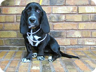 Basset Hound Mix Puppy for adoption in Benbrook, Texas - Magic