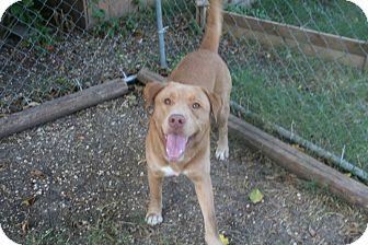 Labrador Retriever/Retriever (Unknown Type) Mix Dog for adoption in San Antonio, Texas - Leo