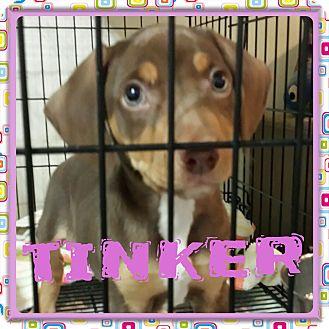 Dachshund/Beagle Mix Puppy for adoption in Newnan, Georgia - Tinker