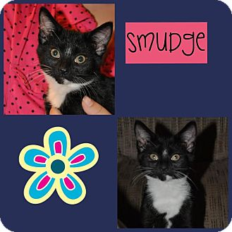Domestic Mediumhair Kitten for adoption in Windham, New Hampshire - Smudge