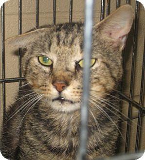 Domestic Shorthair Cat for adoption in Dahlgren, Virginia - (no name)