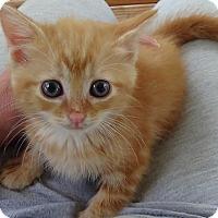 Adopt A Pet :: Georgie - Port Republic, MD
