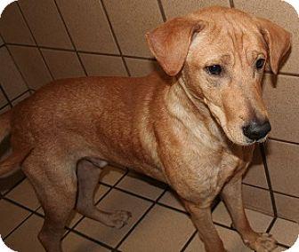 Labrador Retriever Mix Dog for adoption in San Antonio, Texas - Scooby