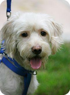 Cocker Spaniel/Poodle (Miniature) Mix Dog for adoption in Carlsbad, California - Luke