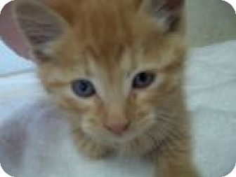 Domestic Shorthair Kitten for adoption in Silver City, New Mexico - Drake