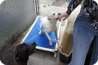 Pit Bull Terrier Mix Dog for adoption in Henderson, North Carolina - Sadie*