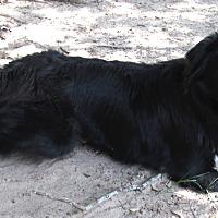Adopt A Pet :: Brie - Houston, TX