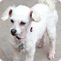 Adopt A Pet :: Kola - Norwalk, CT