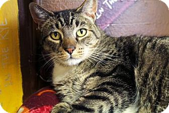 Domestic Shorthair Cat for adoption in Bellevue, Washington - Frank