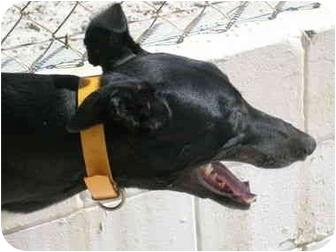 Greyhound Dog for adoption in St Petersburg, Florida - Wally