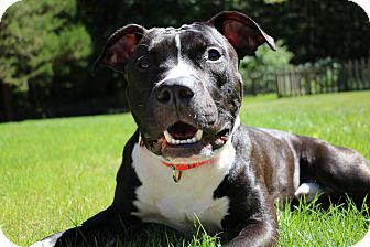 American Staffordshire Terrier/Pit Bull Terrier Mix Dog for adoption in Huntington, New York - Roscoe