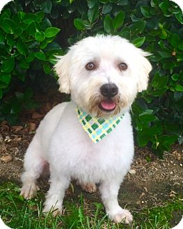 Poodle (Miniature)/Terrier (Unknown Type, Small) Mix Dog for adoption in Santa Monica, California - WINSTON