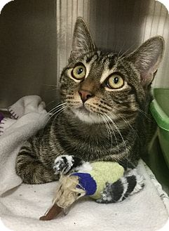 Domestic Shorthair Cat for adoption in Webster, Massachusetts - Fennick