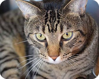 Domestic Shorthair Cat for adoption in Sierra Vista, Arizona - Shade