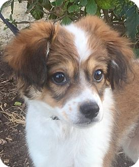 Shih Tzu/Cavalier King Charles Spaniel Mix Puppy for adoption in Oswego, Illinois - Linus