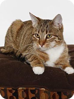 Domestic Shorthair Cat for adoption in Gloucester, Virginia - ZIPPY