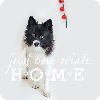 Pomeranian Mix Dog for adoption in Naperville, Illinois - Thomas