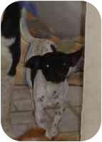 Rat Terrier/Chihuahua Mix Dog for adoption in Elwood, Illinois - Socks (URGENT)