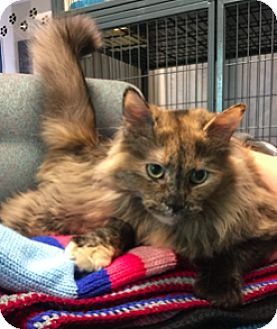 Domestic Longhair Cat for adoption in Lindsay, Ontario - Foxy