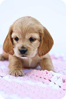 Cocker Spaniel Puppy for adoption in Auburn, California - Brody