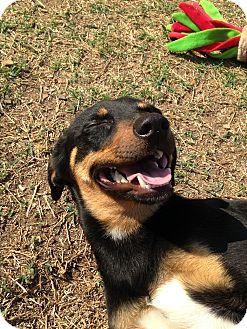 Terrier (Unknown Type, Medium)/Miniature Pinscher Mix Dog for adoption in Stillwater, Oklahoma - Hollyn