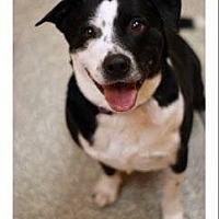 Border Collie/American Pit Bull Terrier Mix Dog for adoption in Bloomington, Illinois - Becca
