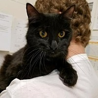 Domestic Mediumhair/Domestic Shorthair Mix Cat for adoption in Anderson, Indiana - Brenda Sue
