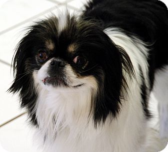 Japanese Chin Mix Dog for adoption in Antioch, California - Gizmo