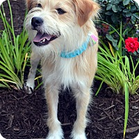 Adopt A Pet :: Oliver-Adoption pending - Bridgeton, MO
