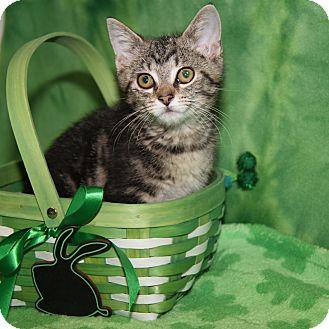 Domestic Shorthair Cat for adoption in Marietta, Ohio - Tiny Tim (Neutered)-Update