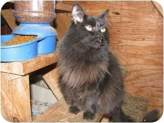 Domestic Longhair Cat for adoption in Maxwelton, West Virginia - Trixie