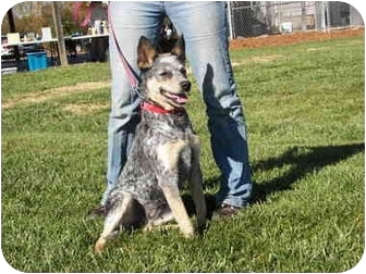 Australian Cattle Dog Dog for adoption in North Wilkesboro, North Carolina - Jenny