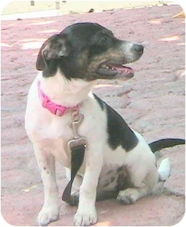 Jack Russell Terrier Mix Puppy for adoption in Poway, California - Roxie