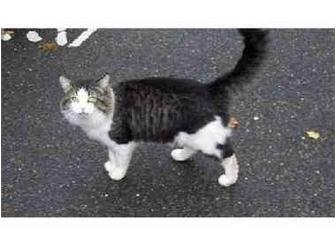 Domestic Mediumhair Cat for adoption in Medford, Massachusetts - Doug