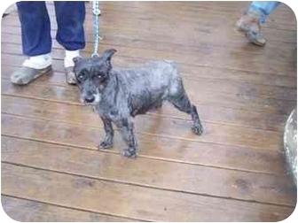 Schnauzer (Miniature) Dog for adoption in Zanesville, Ohio - Pepper