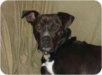 Pit Bull Terrier/Labrador Retriever Mix Dog for adoption in Seattle c/o Kingston 98346/ Washington State, Washington - Louie OH