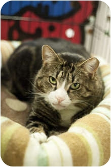 Domestic Shorthair Cat for adoption in Brooklyn, New York - Pedro