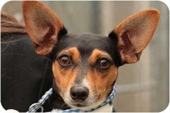 Rat Terrier Mix Dog for adoption in Seattle c/o Kingston 98346/ Washington State, Washington - Jackie