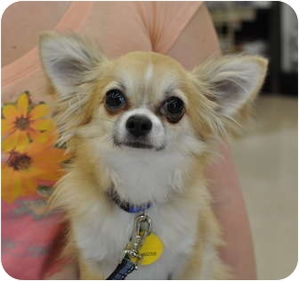 Chihuahua Puppy for adoption in Austin, Texas - Murphy