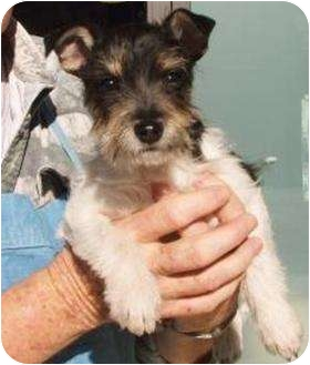 Schnauzer (Miniature)/Terrier (Unknown Type, Small) Mix Puppy for adoption in Duluth, Georgia - Sissy