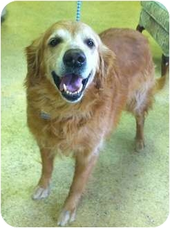 Golden Retriever Dog for adoption in New Canaan, Connecticut - Happy
