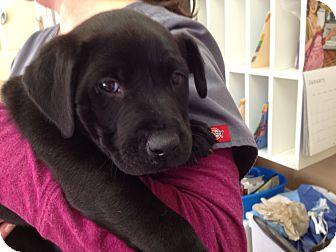 Labrador Retriever Mix Puppy for adoption in Cumming, Georgia - Everest