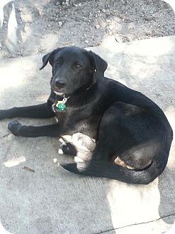Labrador Retriever Mix Puppy for adoption in hollywood, Florida - charlie