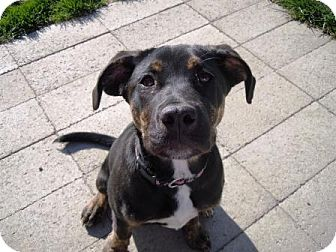 Plott Hound Mix Puppy for adoption in Meridian, Idaho - Morgan