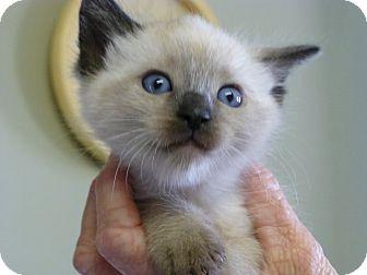 Siamese Kitten for adoption in Quincy, California - Siam