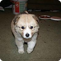 Adopt A Pet :: Smokey - Westfield, IN