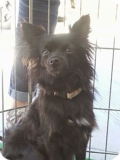 Chihuahua Mix Dog for adoption in San Diego, California - Sidney