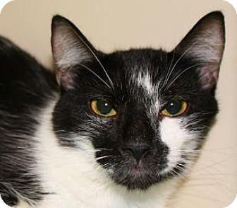 Domestic Shorthair Cat for adoption in Brooklyn, New York - Scar